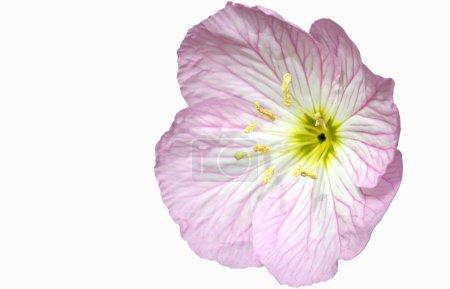 An Evening Primrose in Bloom, Oenothera...