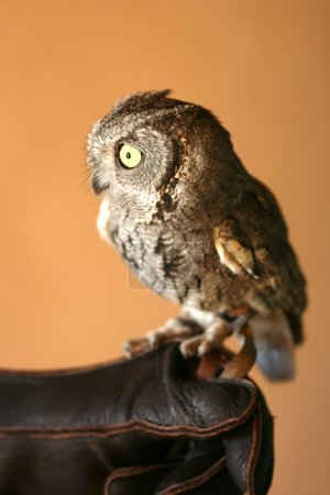 A Screech Owl with Big Yellow Eyes