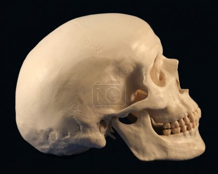 A Side View of a Human Skull
