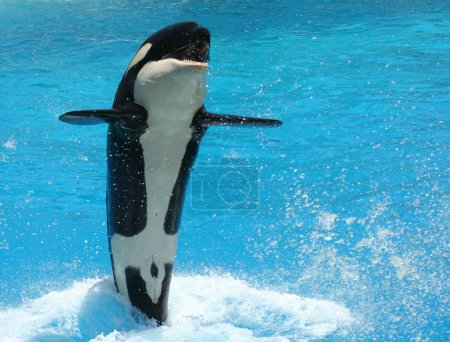 A Young Killer Whale Tail Walks Across the Water