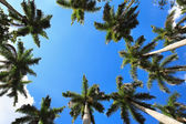 Caribbean fan palms against the sky useful for background