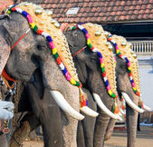 Decorated elephants for parade , Cochin, India
