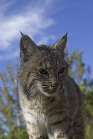 Photo pour Femelle Lynx roux dans les bois - image libre de droit