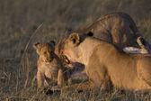 Lvice vrčí na mládě v masai mara - Keňa