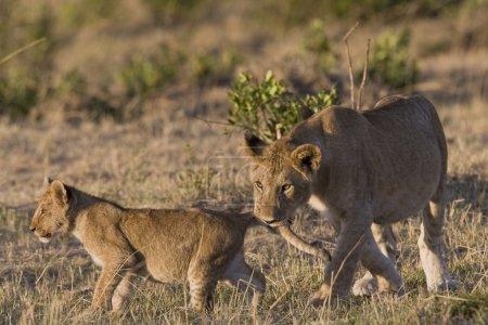Lioness bites her cub in the Masai Mara - Kenya