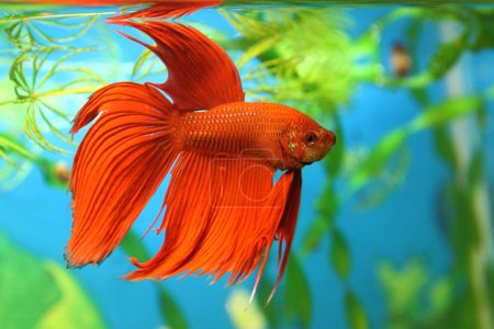 Aquarian fish (Betta splendens)