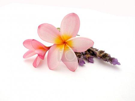 Photo pour Frangipani rose avec lavande isolé sur fond de studio blanc . - image libre de droit