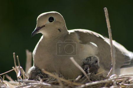 A female bird sits on her nest with her babies.