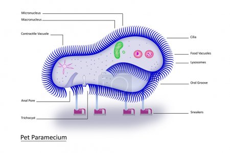 Illustration for Colorful, clearly labeled illustration of all basic structures of the single-celled paramecium- in an easy-to-remember format. - Royalty Free Image