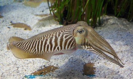 Cuttlefish in aquarium with sand...