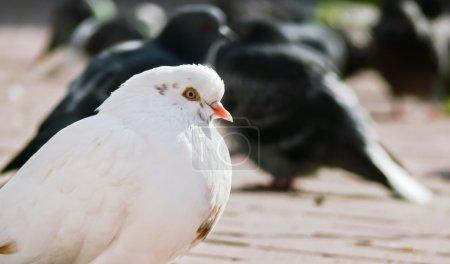 Photo pour Tourterelle blanche - image libre de droit