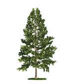 Isolated tree on white, Eastern white pine (Pinus strobus)