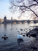 Old town of Prague, Czech Republic. View on Vltava river with ducks and swa