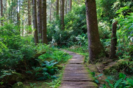 Wooden hiking trail in redwood forest