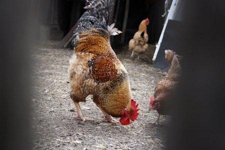 Cock in the farmyard