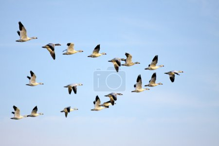 Snow Geese flying in a blue sky....