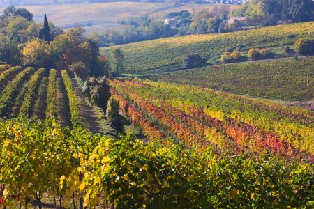 Vines for wine production on the italian hills - l...