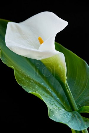 Calla lily flowers isolated on a black background...