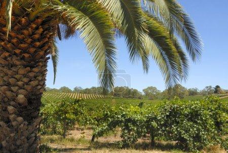 Vineyard with palm tree