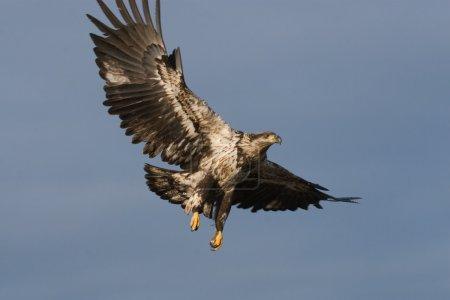 Photo pour Photo d'un jeune pygargue à tête blanche américain en vol . - image libre de droit