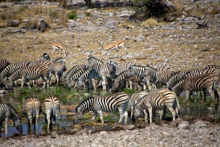 Zebra drinkink water in Etosha national park namibia africa