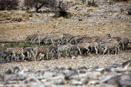 Zebra drinkink water in Etosha national park namibia