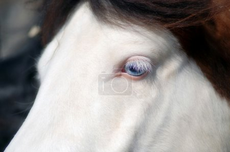 White horse with blue eyes close crop