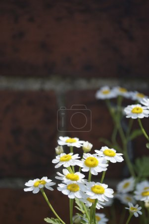 Daisy Against Wall