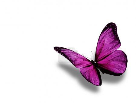 Photo pour Papillon violet, isolé sur fond blanc - image libre de droit