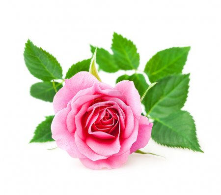 Photo for Pink rose closeup on a white background - Royalty Free Image