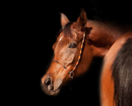 Close-up of a bay arabian horse