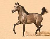 Grey arabian colt walking in desert