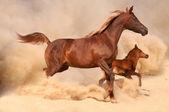 2 Purebred arabian horses