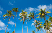 Tropical Palm Trees in Hawaii