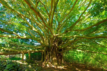 Photo for Tree of Life, Amazing Banyan Tree - Royalty Free Image