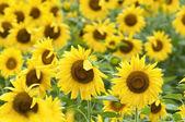 Slunečnice v plném květu v létě