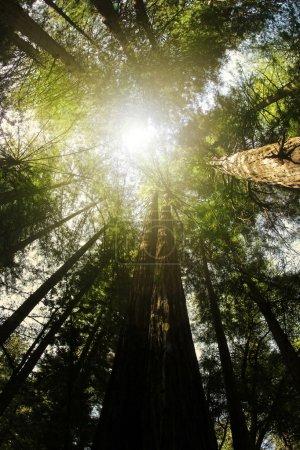 Photo pour Optique en bas en levant avec les rayons de lumière venant d'en haut dans les arbres séquoia anceint - image libre de droit