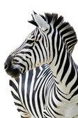 Grants zebra (Equus quagga boehmi)