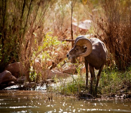 Photo for Profile of big horn sheep feeding on the bank of the Colorado River in the Grand Canyon - Royalty Free Image