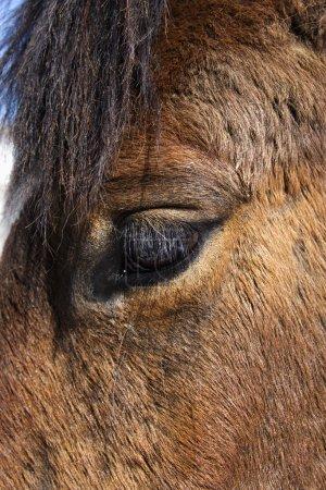 Foto de Primer plano del ojo de un caballo marrón. Disparo vertical . - Imagen libre de derechos