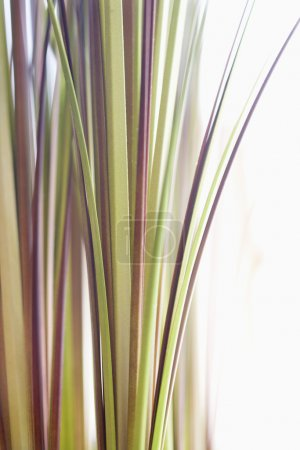Photo for Abstract shot of decorative grass. - Royalty Free Image