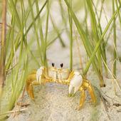 Ghost crab on beach.