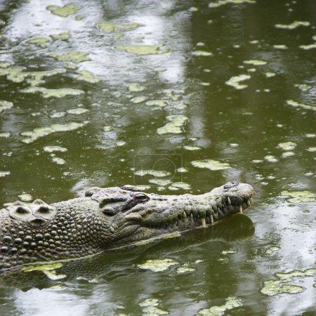 Crocodile swimming.