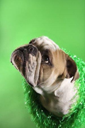 English Bulldog on green.