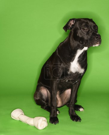 Dog with big rawhide bone.