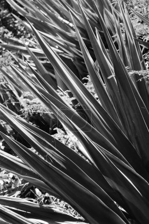 Black and white of yucca plant.