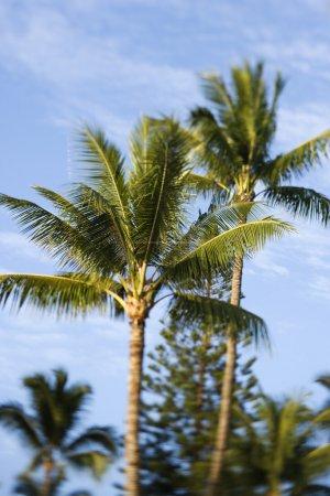 Palm trees n Maui, Hawaii.