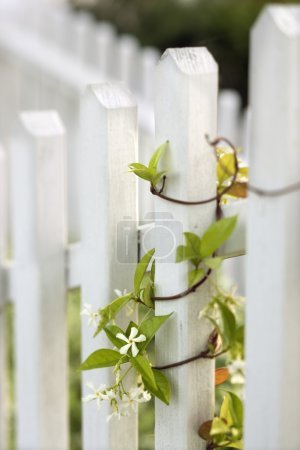 Vine growing on white picket fence.