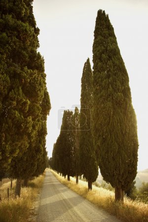 Photo for Rural road lined with cypress trees in Tuscany, Italy. Vertical shot. - Royalty Free Image