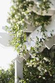 Blühende Rebe auf weiße Rankgitter